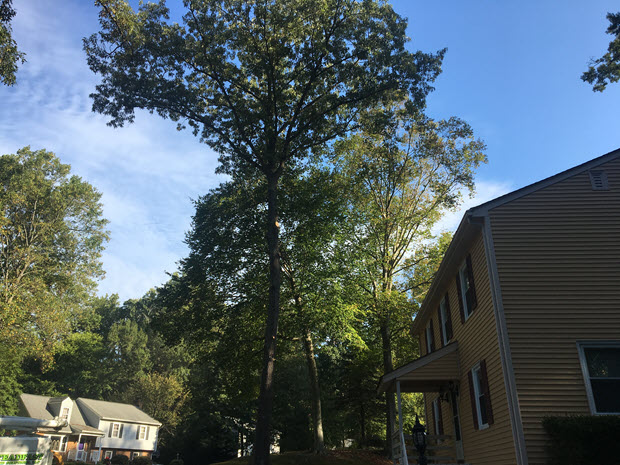 Large tree needing trimming and pruning